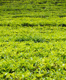 Mountain tea plantation Royalty Free Stock Photo