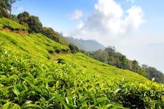 Mountain tea plantation in India Royalty Free Stock Photo