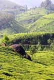 Mountain tea plantation in India Stock Image