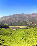 Mountain tea plantation in India Royalty Free Stock Images
