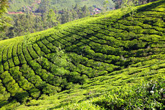 Mountain tea plantation in India Royalty Free Stock Image