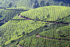 Mountain tea plantation in India Stock Photo