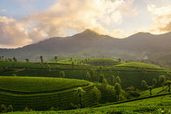 Mountain tea plantations in Munnar Stock Images