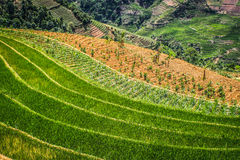 Mountain terrace rice paddies in China Royalty Free Stock Photo