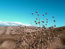 Mountain thorn. The Bush on the hillside Javanese pass in the vicinity of Dushanbe Tajikistan Stock Photos