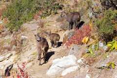 Mountain three goats Tahr family, Nepal. Stock Images