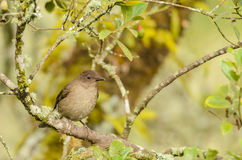 Mountain Thrush (Turdus plebejus) Stock Image