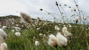 Mountain Top Bog Cotton. Seasonal bog cotton flowering on top of Ballycuggaran, County Clare, Ireland Stock Photo