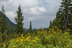 Mountain top overgrown with coniferous forest, glade  and  Arnica  or wild yellow flower on the   ecological walk toward Maliovitz. Mountain top overgrown with Royalty Free Stock Photos