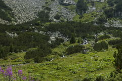 Mountain top overgrown with coniferous forest, glade  and stream on the ecological walk toward   Maliovitza peak in Rila mountain. Mountain top overgrown with Stock Images