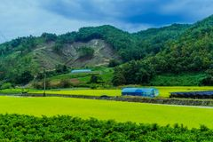 Mountain top that is stripped of trees. Rural landscape of mountain top that is stripped of trees with golden rice field in foreground Stock Photo