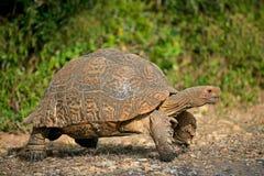 Mountain tortoise. Mountain or leopard tortoise (Geochelone pardalis), South Africa Stock Photos