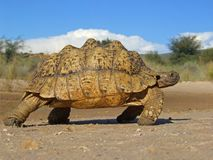 Mountain tortoise Stock Photos