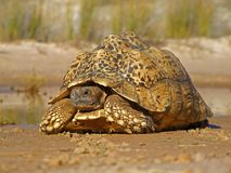 Mountain tortoise Royalty Free Stock Image