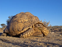 Mountain tortoise Stock Photography