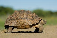 Mountain tortoise Stock Images