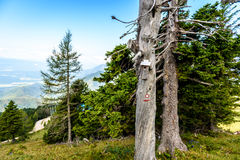 Mountain trail marker on a spruce or pine tree. Stock Photos