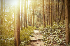 Mountain trail in the pine  forest Royalty Free Stock Image