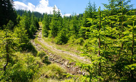 Mountain trail in pine forest on background of daytime sky Stock Photo
