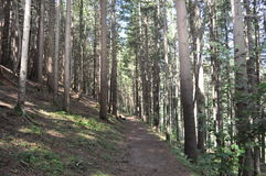 Mountain trail. With tall cypress trees for relaxing calm tranquility physical activity Royalty Free Stock Photo