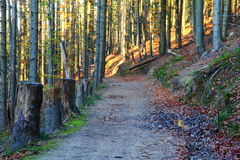 Mountain trail. Through the woods with felled trunks of old trees. Track in the Beskid Śląski, Poland Stock Images