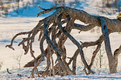 Mountain tree roots Stock Image