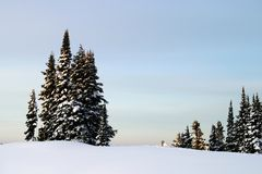 Mountain Trees. A grove of trees, high up on Mt. Rainier stock images