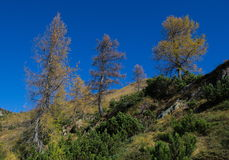 Mountain trees. Pines and golden larch trees against the blue sky background Royalty Free Stock Photography