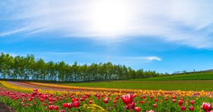 Mountain, Trees and Tulip flowers field with clear blue sky backgound in sunny day. A close up shot of colorful flower carpet stock images