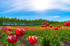 Mountain, Trees and Tulip flowers field with clear blue sky backgound in sunny day. A close up shot of colorful flower carpet stock photography