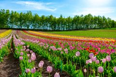 Mountain, Trees and Tulip flowers field with clear blue sky backgound in sunny day. A close up shot of colorful flower carpet stock photo