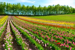 Mountain, Trees and Tulip flowers field with clear blue sky backgound in sunny day. A close up shot of colorful flower carpet royalty free stock images