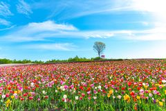 Mountain, Trees and Tulip flowers field with clear blue sky backgound in sunny day. A close up shot of colorful flower carpet royalty free stock photos