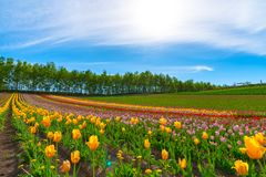 Mountain, Trees and Tulip flowers field with clear blue sky backgound in sunny day. A close up shot of colorful flower carpet royalty free stock photo