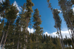 Mountain trees in winter. Mountain trees in the winter under a bright blue sky Stock Image