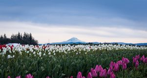 Mountain Tulips and Windmill. Mt. Hood in the background, tulips in the forefront Royalty Free Stock Photography