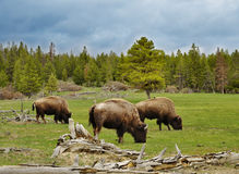 Mountain valley with bisons and forest Royalty Free Stock Image