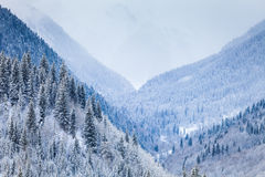 Mountain Valley with coniferous trees covered by Royalty Free Stock Photos