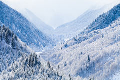 Mountain Valley with coniferous trees covered by Stock Image
