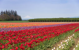 Mountain Valley Tulip Field. Rainbow rows of tulips line the valley floor below a snow-covered mountain on a sunny day stock photos