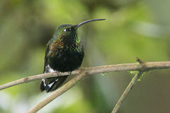 Mountain Velvet-breast, hummingbird perched in Ecuador Royalty Free Stock Photography