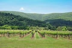 Mountain View de los árboles de la uva fotografía de archivo libre de regalías