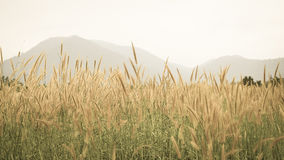 Mountain view. Flowering grass in mountain background in aged photo style Royalty Free Stock Photography