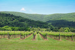 Mountain View of Grape Trees. A landscape view of crops of grape trees in the mountains Royalty Free Stock Photography