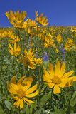 Mountain view of Heartleaf Arnica and Lupine