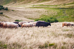 Mountain view, hiking through the mountains, panorama. Summer hiking trip. Sheeps, animals and nature in the highlands, hiking tra. Animals in the mountains Royalty Free Stock Photography