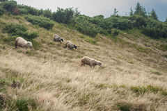 Mountain view, hiking through the mountains, panorama. Summer hiking trip. Sheeps, animals and nature in the highlands, hiking tra. Animals in the mountains Stock Photography