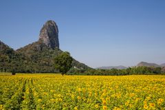 Mountain View i koloru żółtego pole słoneczniki i jaskrawy niebieskie niebo Fotografia Royalty Free
