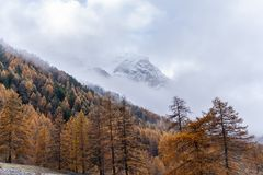 Mountain View Larchs las w jesieni zdjęcia royalty free
