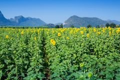 Mountain View och gulingfält av solrosor och ljus blå himmel Royaltyfria Foton